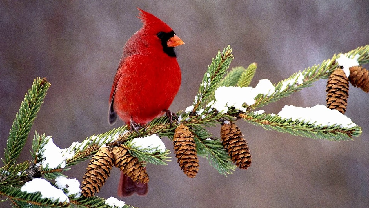 The Spiritual Meanings of Seeing a Cardinal